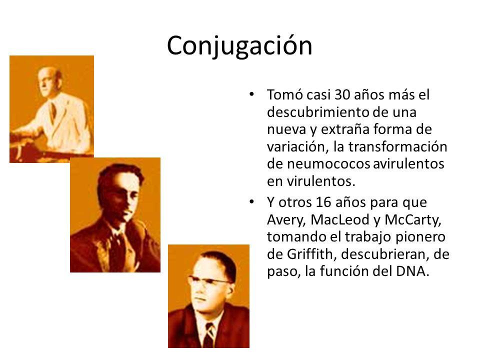 Conjugación Tomó casi 30 años más el descubrimiento de una nueva y extraña forma de variación, la transformación de neumococos avirulentos en virulent