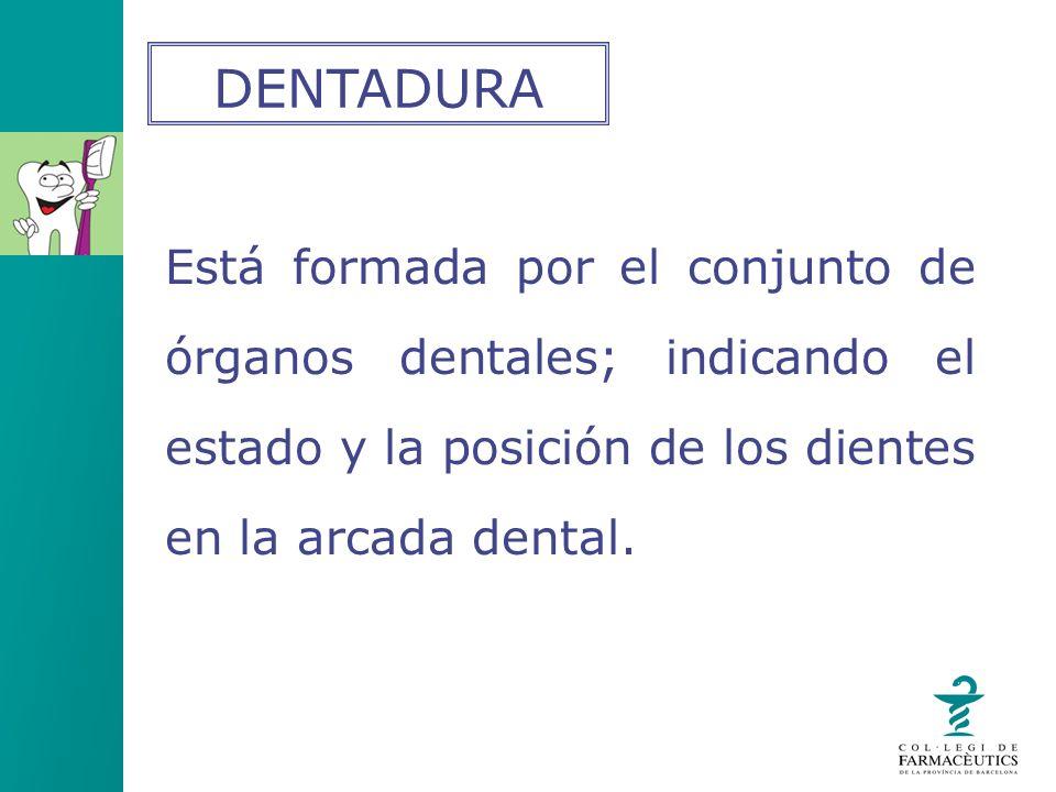 Está formada por el conjunto de órganos dentales; indicando el estado y la posición de los dientes en la arcada dental. DENTADURA