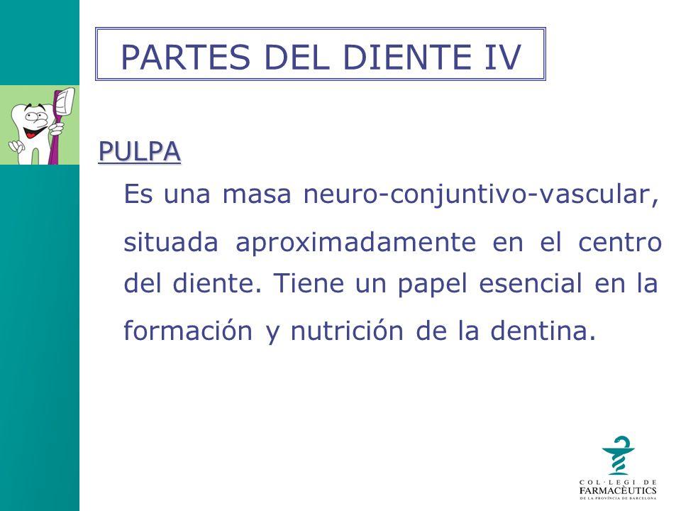 PULPA Es una masa neuro-conjuntivo-vascular, situada aproximadamente en el centro del diente. Tiene un papel esencial en la formación y nutrición de l