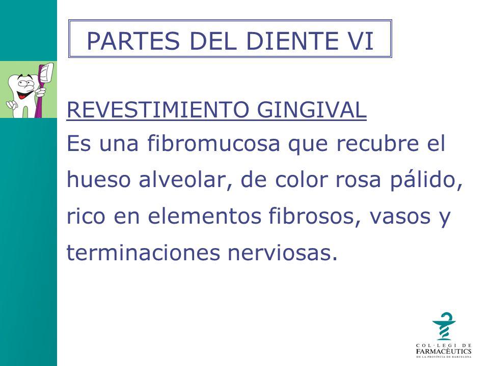 REVESTIMIENTO GINGIVAL Es una fibromucosa que recubre el hueso alveolar, de color rosa pálido, rico en elementos fibrosos, vasos y terminaciones nervi