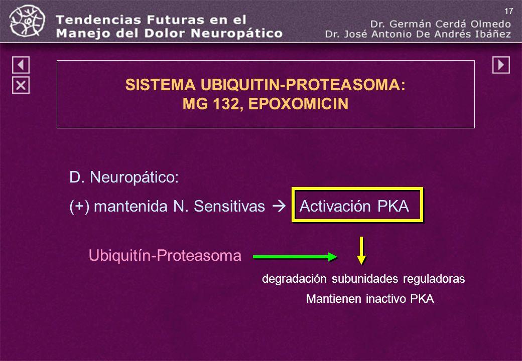 SISTEMA UBIQUITIN-PROTEASOMA: MG 132, EPOXOMICIN D. Neuropático: (+) mantenida N. Sensitivas Activación PKA degradación subunidades reguladoras Mantie