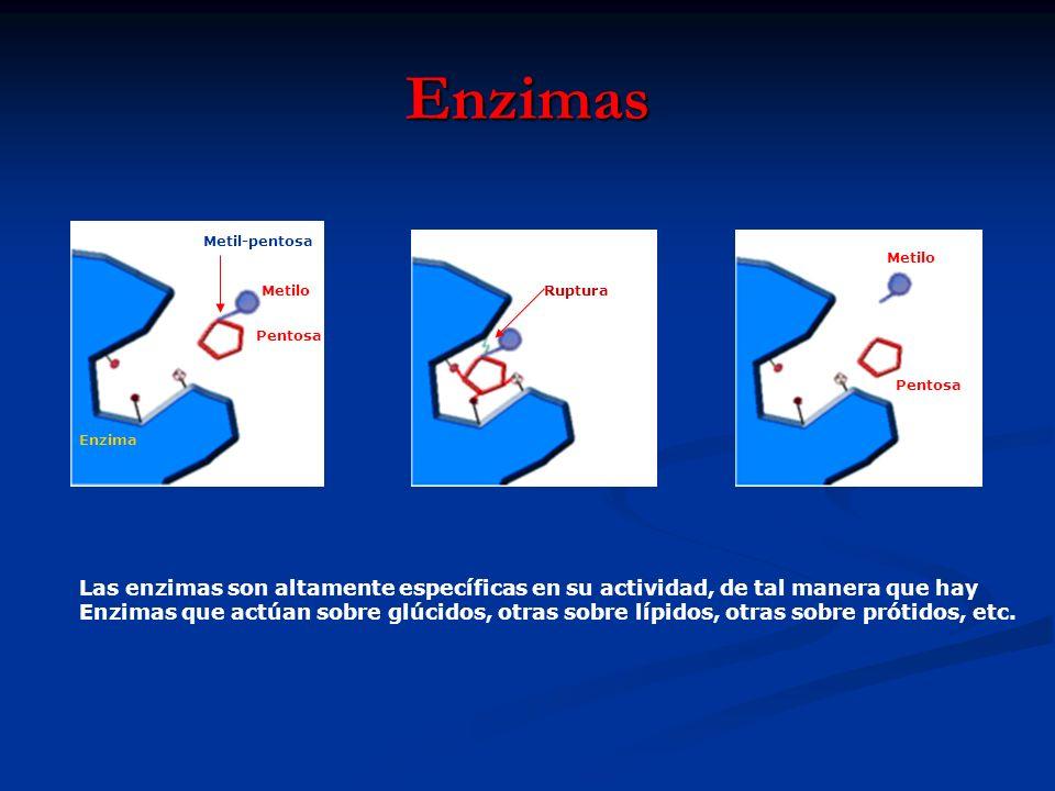 Enzimas Las enzimas son altamente específicas en su actividad, de tal manera que hay Enzimas que actúan sobre glúcidos, otras sobre lípidos, otras sob