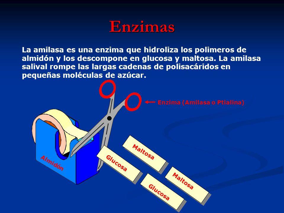 Enzimas La amilasa es una enzima que hidroliza los polimeros de almidón y los descompone en glucosa y maltosa. La amilasa salival rompe las largas cad