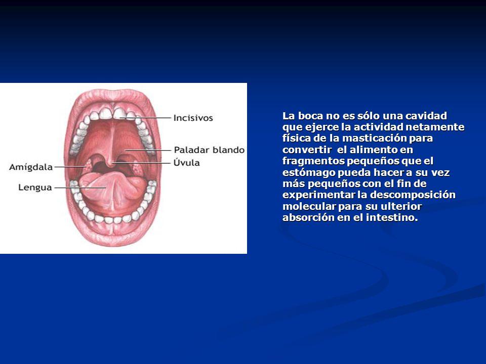 La boca no es sólo una cavidad que ejerce la actividad netamente física de la masticación para convertir el alimento en fragmentos pequeños que el est