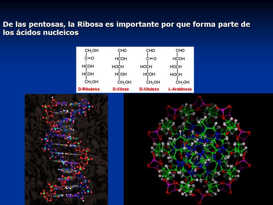 De las pentosas, la Ribosa es importante por que forma parte de los ácidos nucleicos