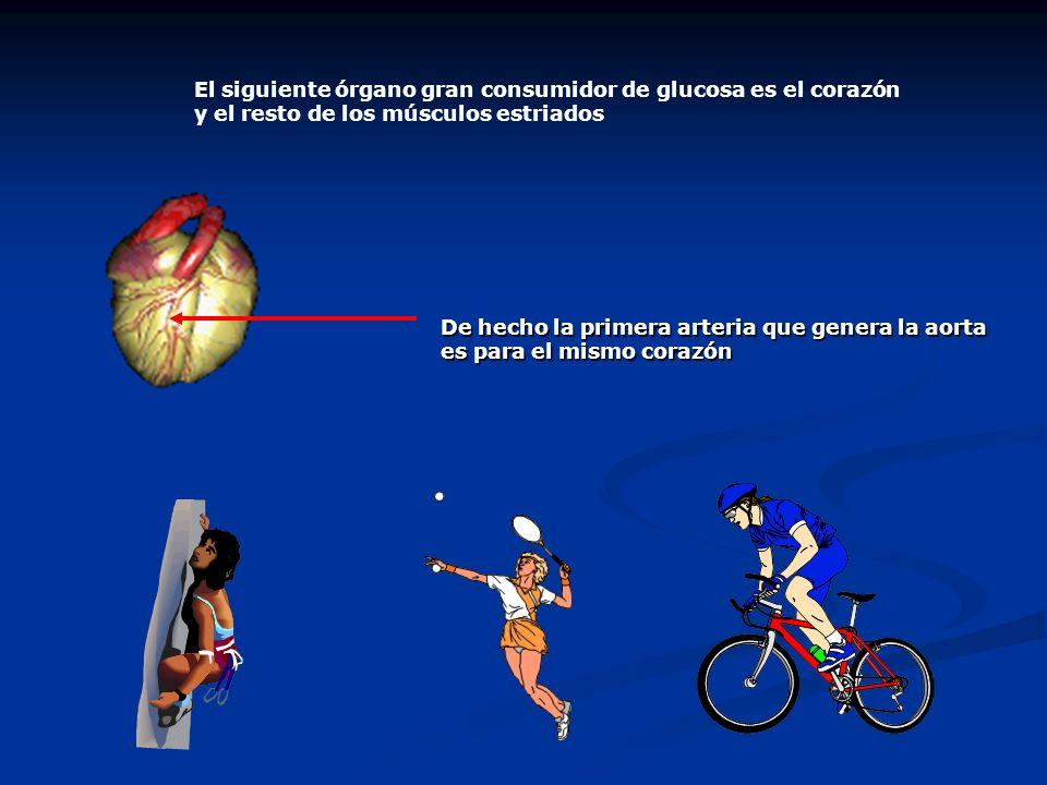 El siguiente órgano gran consumidor de glucosa es el corazón y el resto de los músculos estriados De hecho la primera arteria que genera la aorta es p