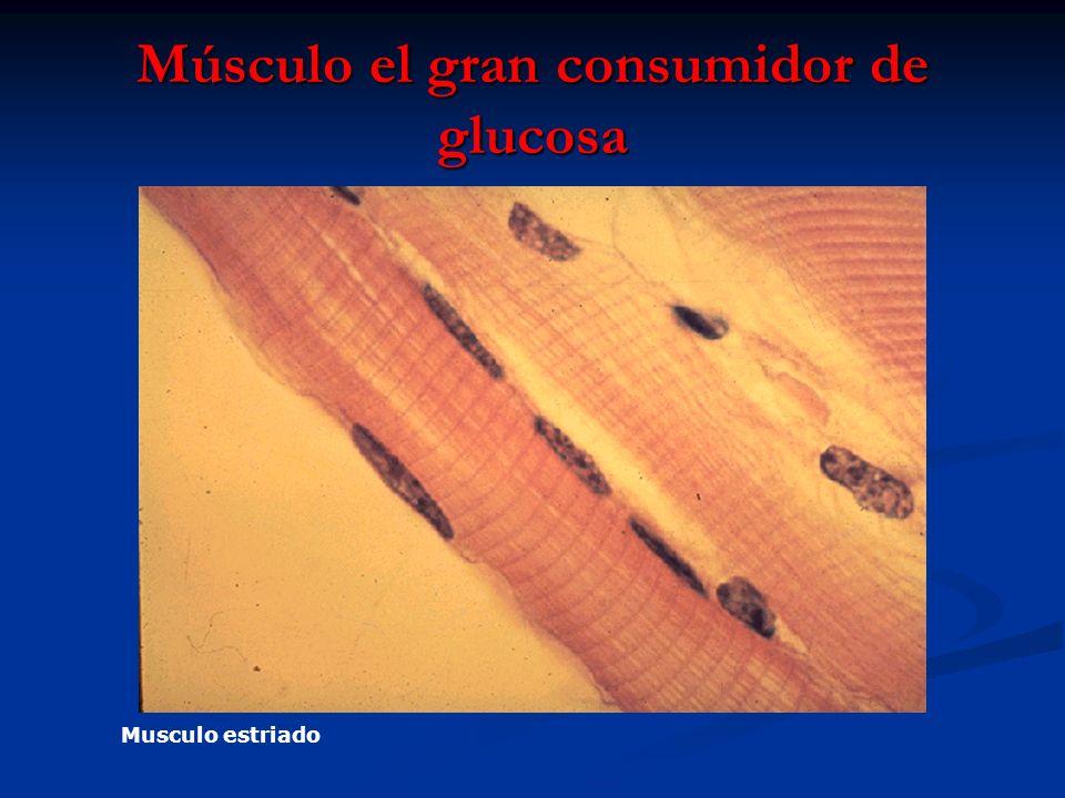 Músculo el gran consumidor de glucosa Musculo estriado