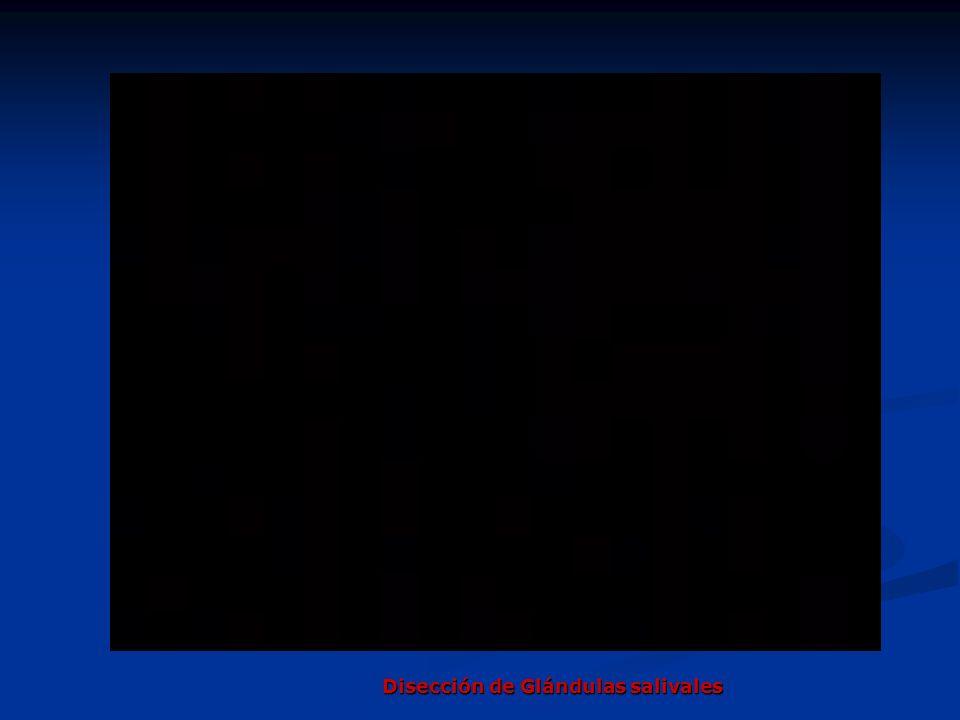 Disección de Glándulas salivales