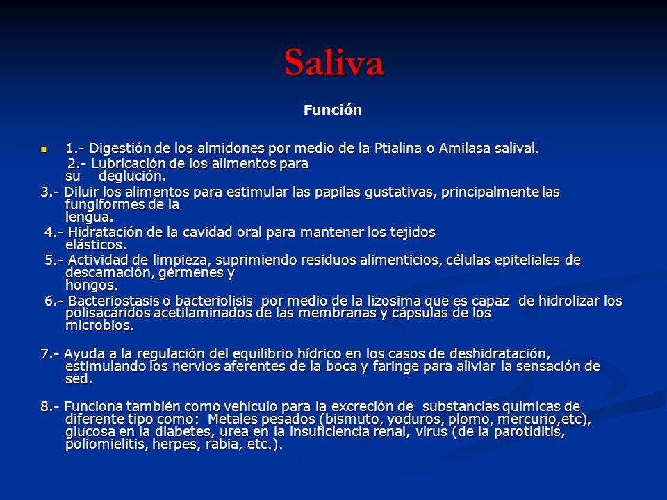 Saliva 1.- Digestión de los almidones por medio de la Ptialina o Amilasa salival. 1.- Digestión de los almidones por medio de la Ptialina o Amilasa sa