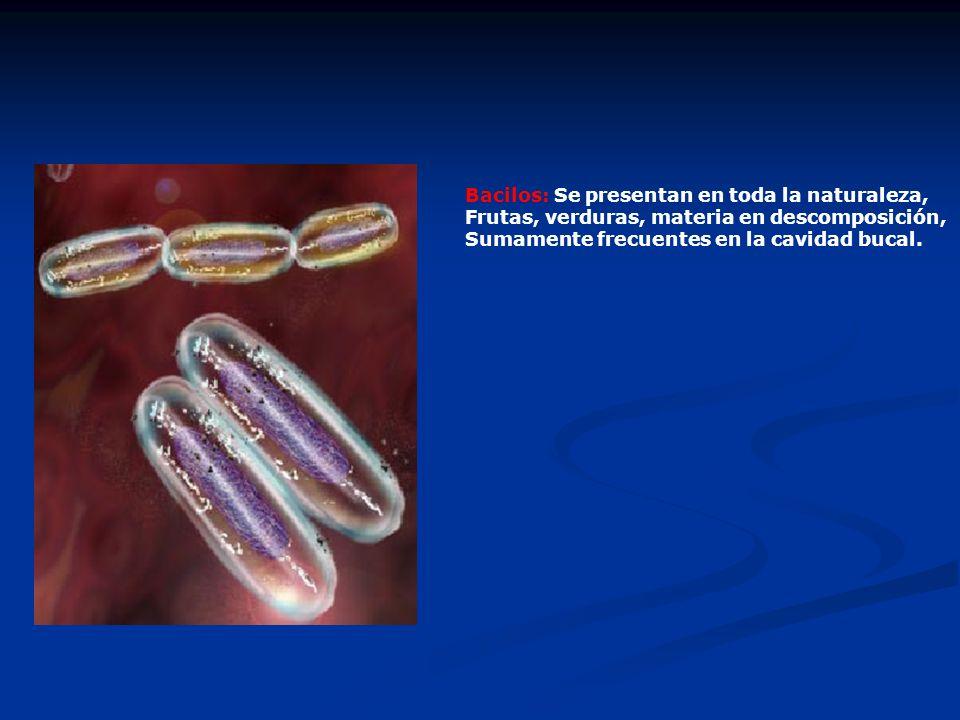 Bacilos: Se presentan en toda la naturaleza, Frutas, verduras, materia en descomposición, Sumamente frecuentes en la cavidad bucal.