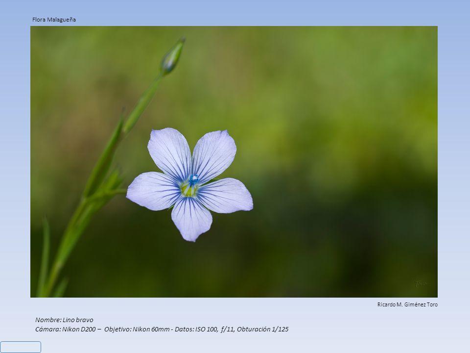 Nombre: Bellardia trixago Cámara: Nikon D200 – Objetivo: Nikon 60mm - Datos: ISO 100, f/11, Obturación 1/160 Ricardo M. Giménez Toro Flora Malagueña