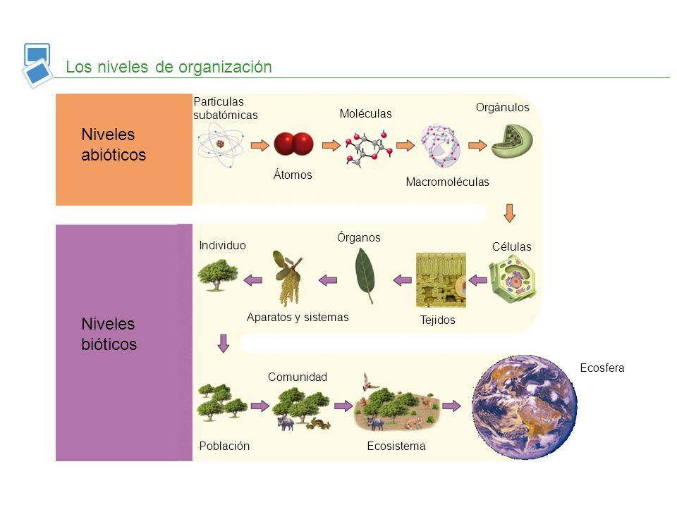 Los niveles de organización Niveles abióticos Niveles bióticos Particulas subatómicas Átomos Moléculas Macromoléculas Orgánulos Células Tejidos Órgano