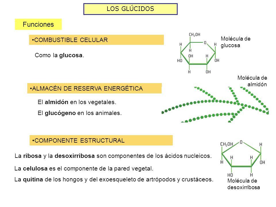 LOS GLÚCIDOS Funciones COMBUSTIBLE CELULAR Como la glucosa. Molécula de glucosa ALMACÉN DE RESERVA ENERGÉTICA Molécula de almidón El almidón en los ve