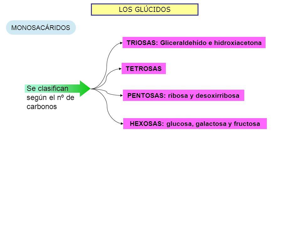 LOS GLÚCIDOS MONOSACÁRIDOS Se clasifican según el nº de carbonos TETROSAS PENTOSAS: ribosa y desoxirribosa HEXOSAS: glucosa, galactosa y fructosa TRIO