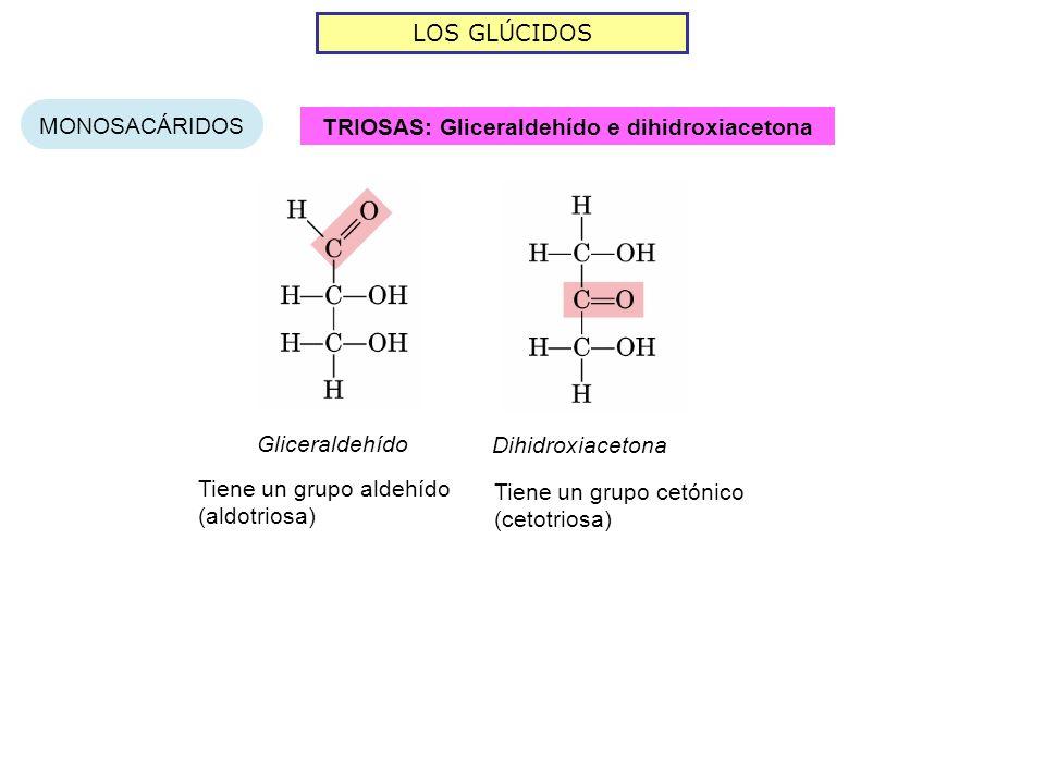 LOS GLÚCIDOS MONOSACÁRIDOS TRIOSAS: Gliceraldehído e dihidroxiacetona Gliceraldehído Dihidroxiacetona Tiene un grupo aldehído (aldotriosa) Tiene un gr