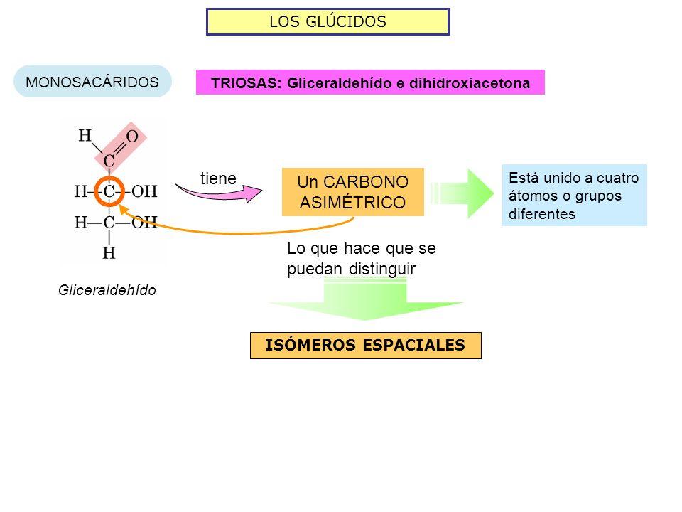 LOS GLÚCIDOS MONOSACÁRIDOS TRIOSAS: Gliceraldehído e dihidroxiacetona Gliceraldehído tiene Un CARBONO ASIMÉTRICO Está unido a cuatro átomos o grupos d