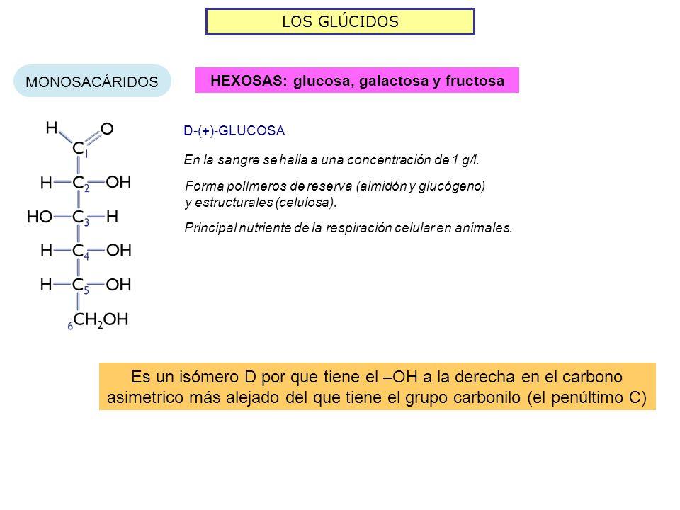 LOS GLÚCIDOS MONOSACÁRIDOS HEXOSAS: glucosa, galactosa y fructosa En la sangre se halla a una concentración de 1 g/l. D-(+)-GLUCOSA Forma polímeros de