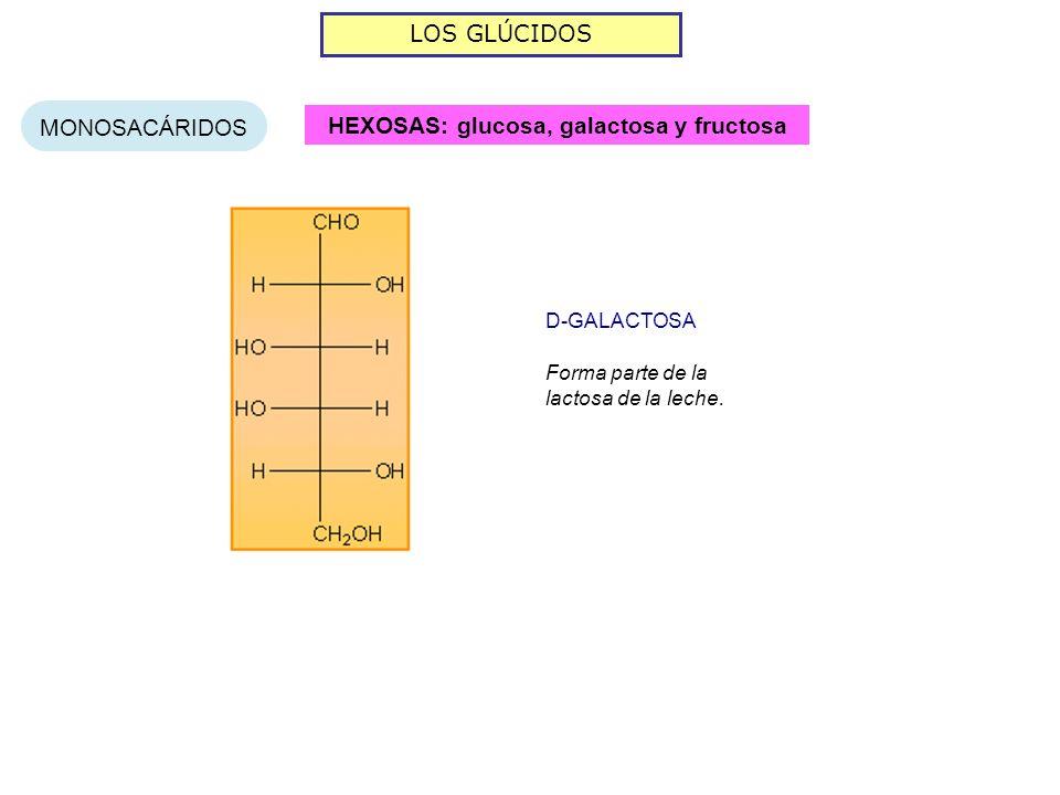 LOS GLÚCIDOS MONOSACÁRIDOS HEXOSAS: glucosa, galactosa y fructosa Forma parte de la lactosa de la leche. D-GALACTOSA