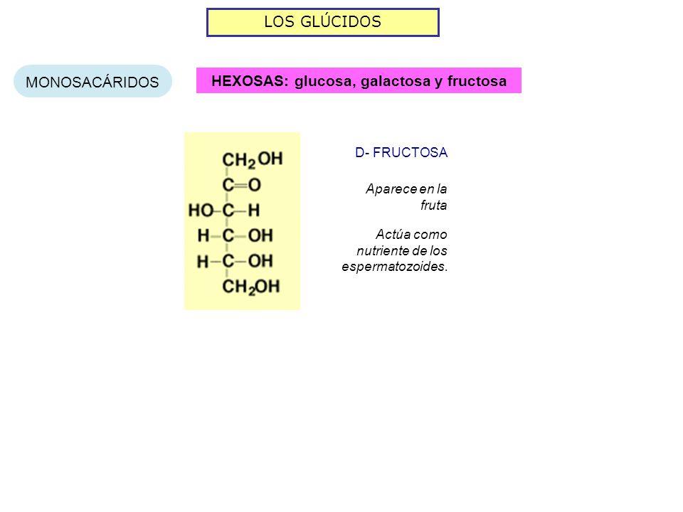 LOS GLÚCIDOS MONOSACÁRIDOS HEXOSAS: glucosa, galactosa y fructosa Aparece en la fruta D- FRUCTOSA Actúa como nutriente de los espermatozoides.