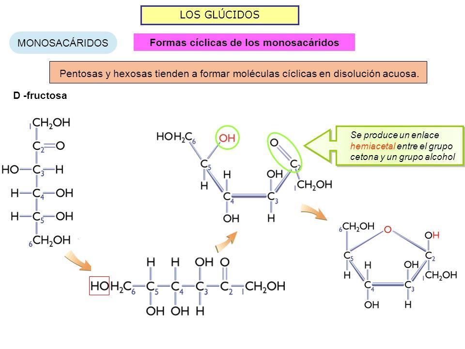 LOS GLÚCIDOS MONOSACÁRIDOS Pentosas y hexosas tienden a formar moléculas cíclicas en disolución acuosa. D -fructosa Se produce un enlace hemiacetal en
