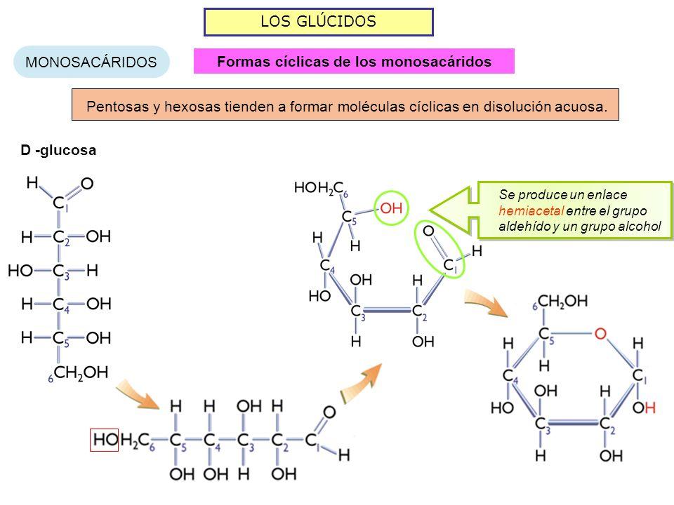 LOS GLÚCIDOS MONOSACÁRIDOS Pentosas y hexosas tienden a formar moléculas cíclicas en disolución acuosa. D -glucosa Se produce un enlace hemiacetal ent