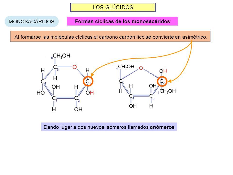 LOS GLÚCIDOS MONOSACÁRIDOS Al formarse las moléculas cíclicas el carbono carbonílico se convierte en asimétrico. Dando lugar a dos nuevos isómeros lla