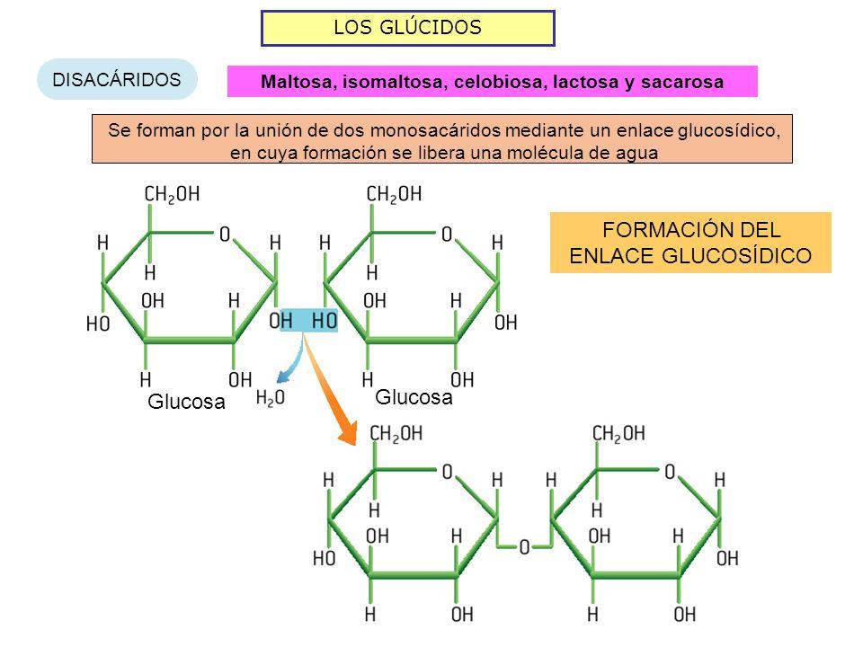 LOS GLÚCIDOS DISACÁRIDOS Se forman por la unión de dos monosacáridos mediante un enlace glucosídico, en cuya formación se libera una molécula de agua