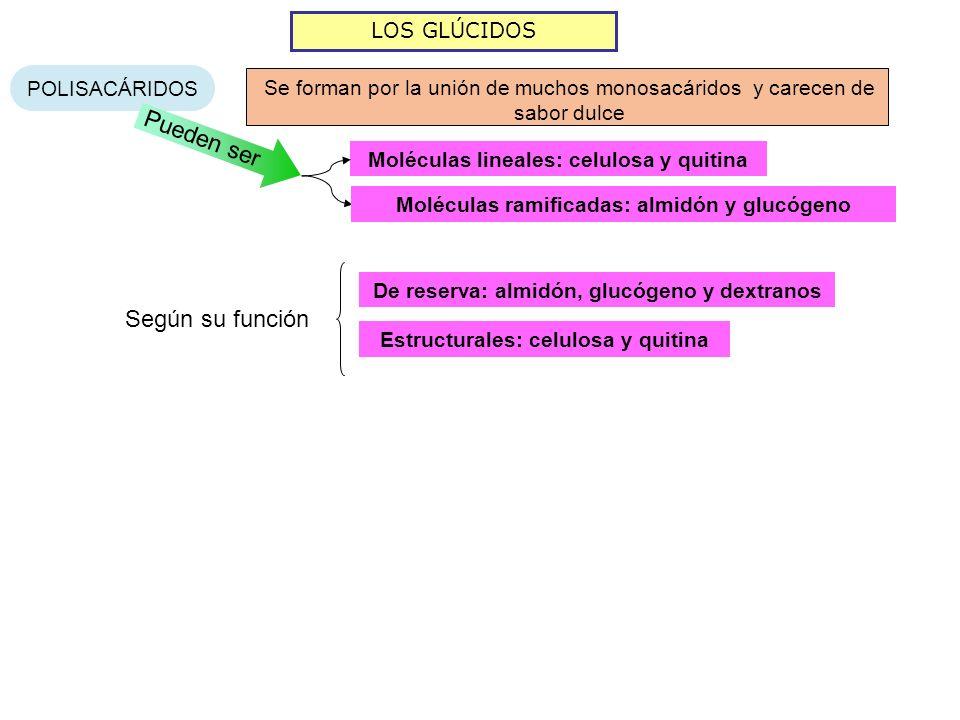 LOS GLÚCIDOS POLISACÁRIDOS Se forman por la unión de muchos monosacáridos y carecen de sabor dulce Pueden ser Moléculas lineales: celulosa y quitina M
