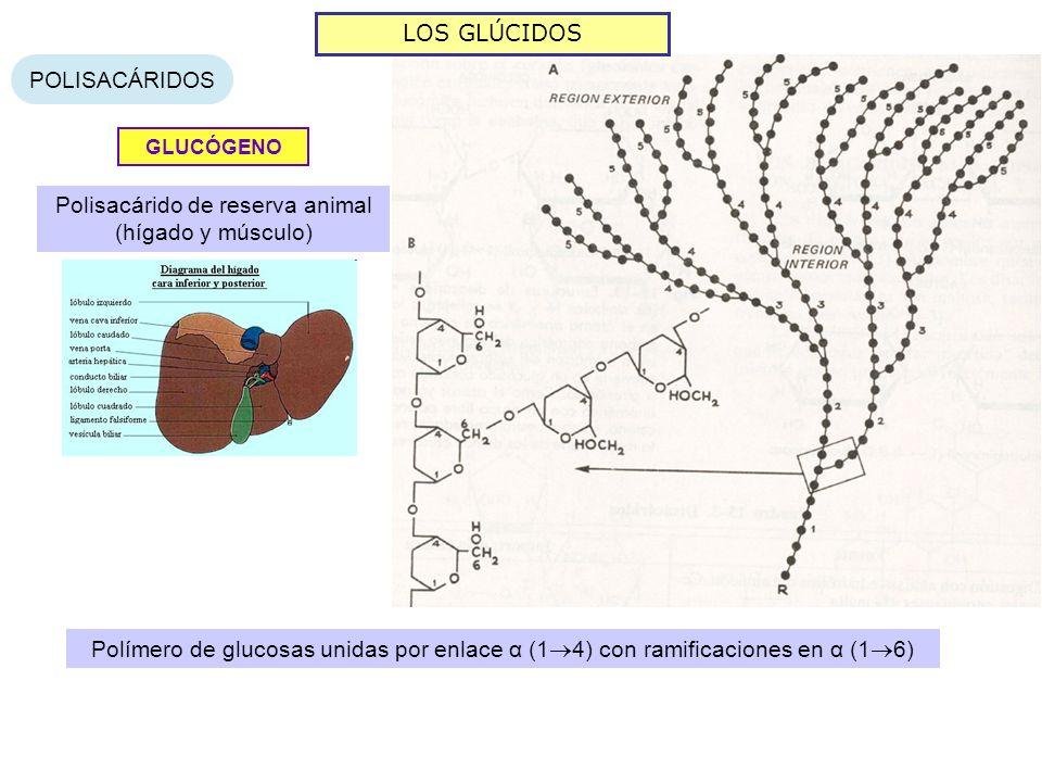 LOS GLÚCIDOS POLISACÁRIDOS GLUCÓGENO Polisacárido de reserva animal (hígado y músculo) Polímero de glucosas unidas por enlace α (1 4) con ramificacion