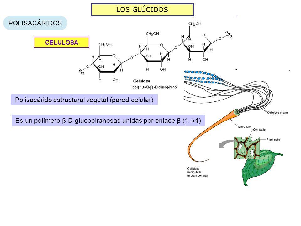 LOS GLÚCIDOS POLISACÁRIDOS CELULOSA Polisacárido estructural vegetal (pared celular) Es un polímero β-D-glucopiranosas unidas por enlace β (1 4)