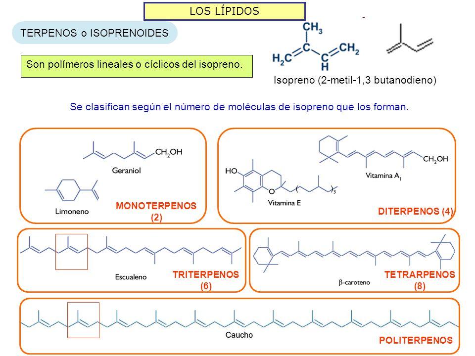LOS LÍPIDOS TERPENOS o ISOPRENOIDES Son polímeros lineales o cíclicos del isopreno. Isopreno (2-metil-1,3 butanodieno) Se clasifican según el número d