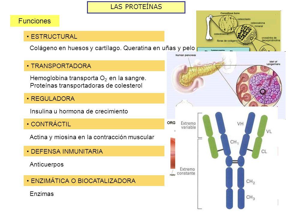 LAS PROTEÍNAS Funciones ESTRUCTURAL Colágeno en huesos y cartílago. Queratina en uñas y pelo TRANSPORTADORA Hemoglobina transporta O 2 en la sangre. P