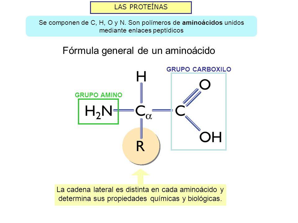 LAS PROTEÍNAS Se componen de C, H, O y N. Son polímeros de aminoácidos unidos mediante enlaces peptídicos GRUPO CARBOXILO GRUPO AMINO La cadena latera