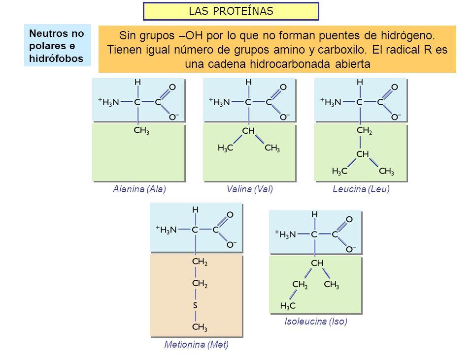 LAS PROTEÍNAS Neutros no polares e hidrófobos Sin grupos –OH por lo que no forman puentes de hidrógeno. Tienen igual número de grupos amino y carboxil