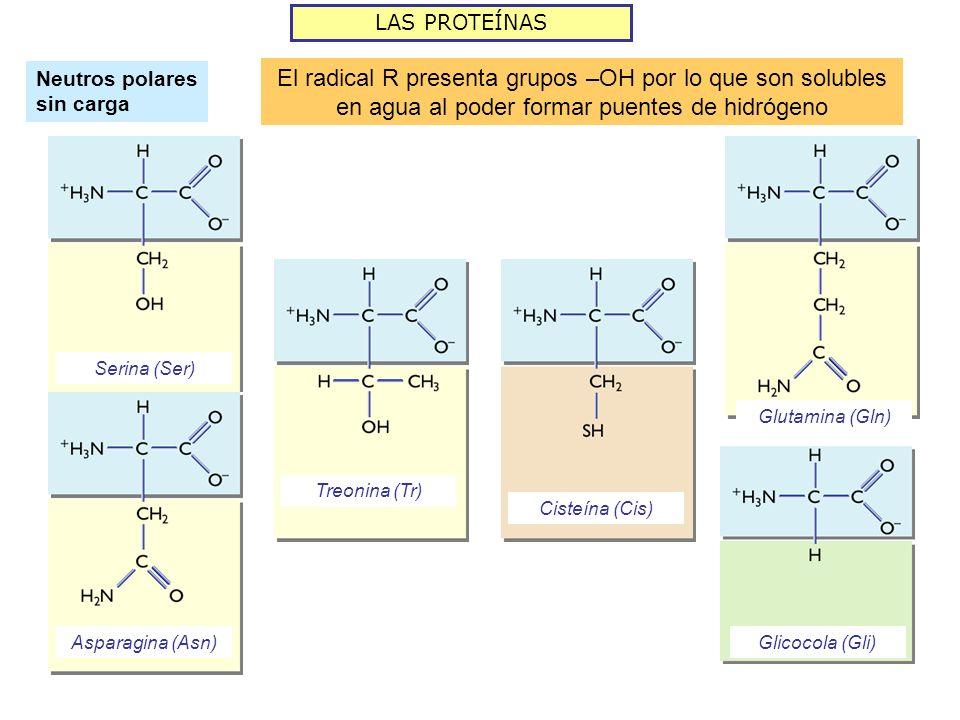 LAS PROTEÍNAS Neutros polares sin carga El radical R presenta grupos –OH por lo que son solubles en agua al poder formar puentes de hidrógeno Serina (
