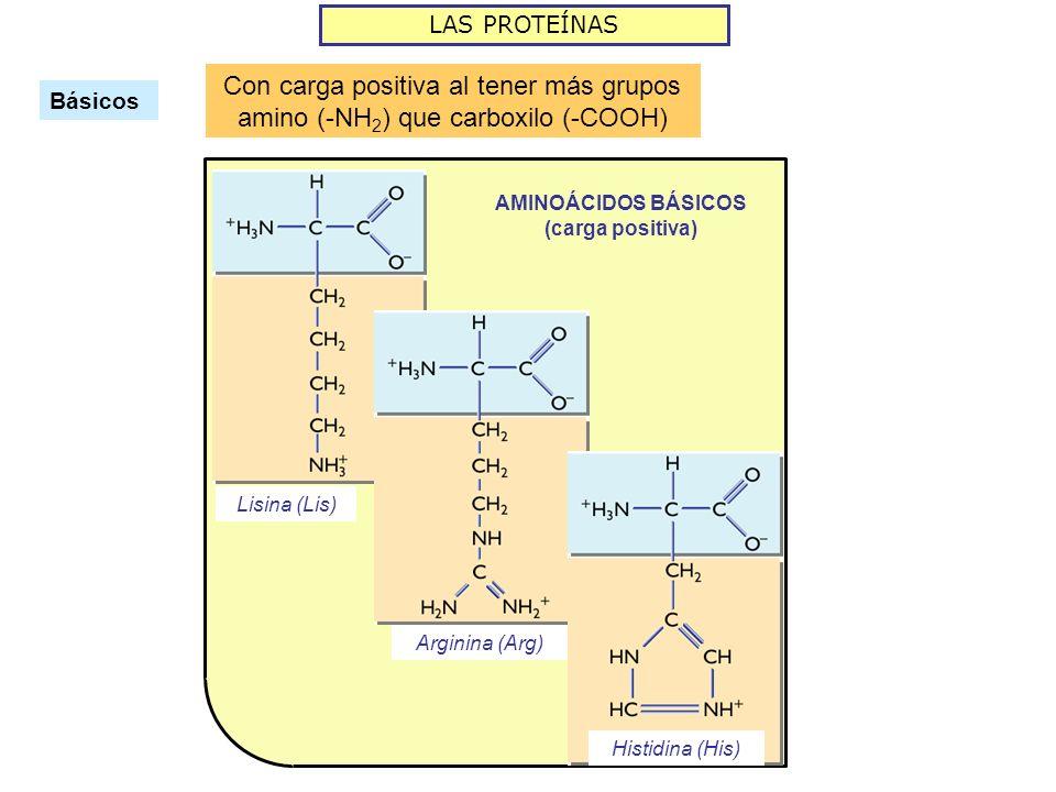 LAS PROTEÍNAS Básicos Con carga positiva al tener más grupos amino (-NH 2 ) que carboxilo (-COOH) AMINOÁCIDOS BÁSICOS (carga positiva) Lisina (Lis) Ar