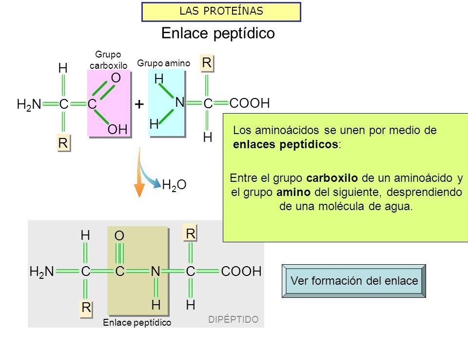 DIPÉPTIDO LAS PROTEÍNAS Enlace peptídico H2OH2O Grupo amino R H COOH N C H H H R CH2NH2NC O R H NC H Grupo carboxilo C H R H2NH2N C OH O + Ver formaci