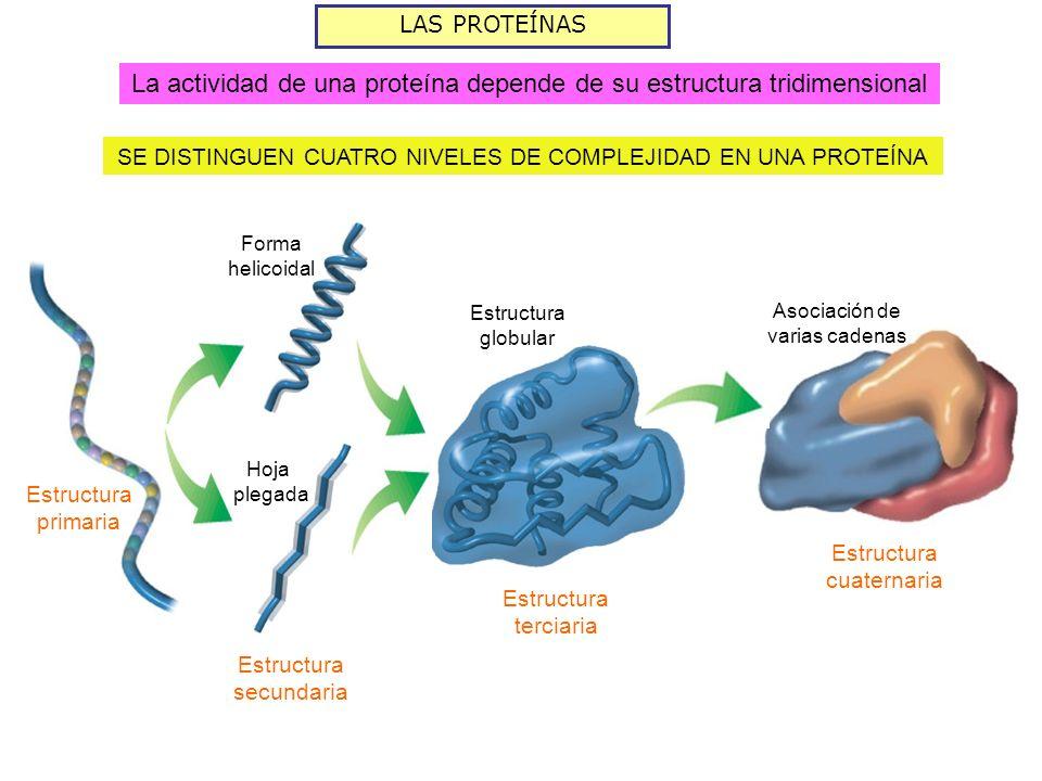 LAS PROTEÍNAS SE DISTINGUEN CUATRO NIVELES DE COMPLEJIDAD EN UNA PROTEÍNA Estructura primaria Hoja plegada Forma helicoidal Estructura secundaria Estr
