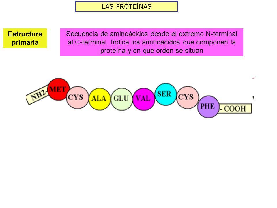 LAS PROTEÍNAS Estructura primaria Secuencia de aminoácidos desde el extremo N-terminal al C-terminal. Indica los aminoácidos que componen la proteína