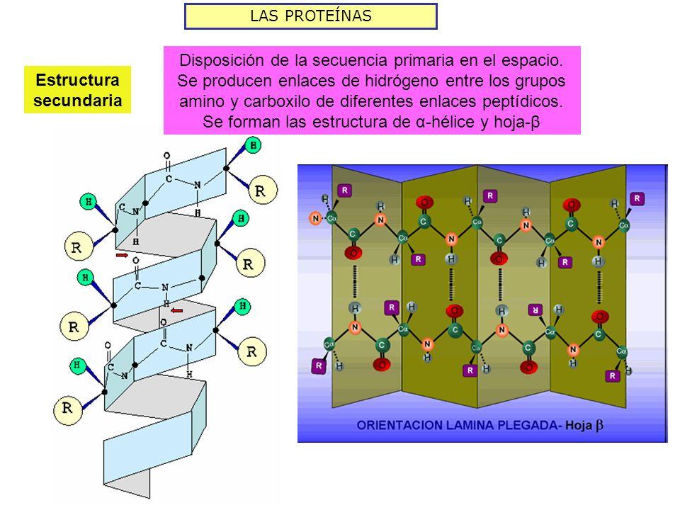 LAS PROTEÍNAS Estructura secundaria Disposición de la secuencia primaria en el espacio. Se producen enlaces de hidrógeno entre los grupos amino y carb