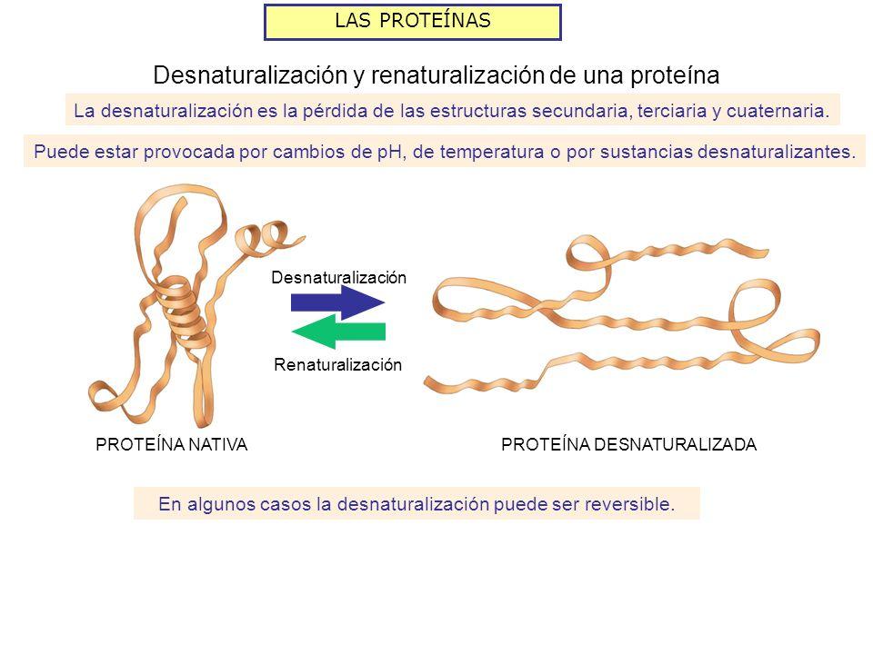 LAS PROTEÍNAS La desnaturalización es la pérdida de las estructuras secundaria, terciaria y cuaternaria. Puede estar provocada por cambios de pH, de t