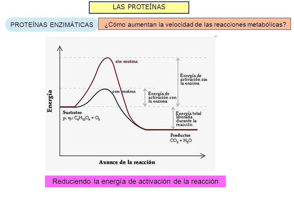 LAS PROTEÍNAS PROTEÍNAS ENZIMÁTICAS ¿Cómo aumentan la velocidad de las reacciones metabólicas? Reduciendo la energía de activación de la reacción