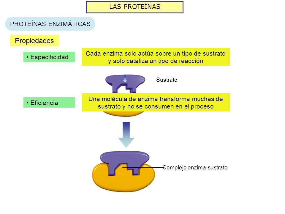LAS PROTEÍNAS PROTEÍNAS ENZIMÁTICAS Propiedades Especificidad Cada enzima solo actúa sobre un tipo de sustrato y solo cataliza un tipo de reacción Enz