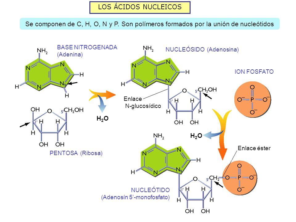 LOS ÁCIDOS NUCLEICOS Se componen de C, H, O, N y P. Son polímeros formados por la unión de nucleótidos H2OH2O BASE NITROGENADA (Adenina) PENTOSA (Ribo