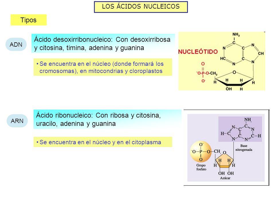 LOS ÁCIDOS NUCLEICOS Tipos ADN ARN Ácido desoxirribonucleico: Con desoxirribosa y citosina, timina, adenina y guanina Ácido ribonucleico: Con ribosa y