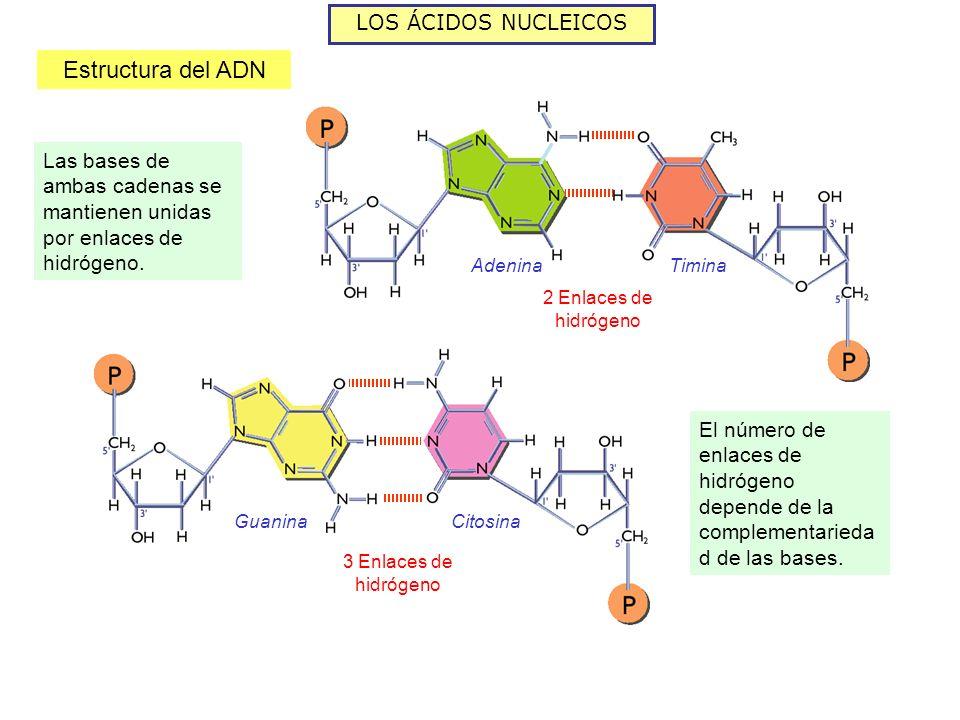 LOS ÁCIDOS NUCLEICOS Estructura del ADN Las bases de ambas cadenas se mantienen unidas por enlaces de hidrógeno. AdeninaTimina GuaninaCitosina 3 Enlac
