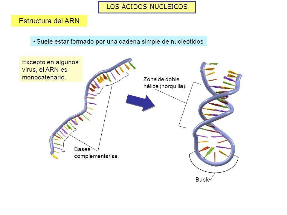 LOS ÁCIDOS NUCLEICOS Estructura del ARN Excepto en algunos virus, el ARN es monocatenario. Bases complementarias. Zona de doble hélice (horquilla). Bu