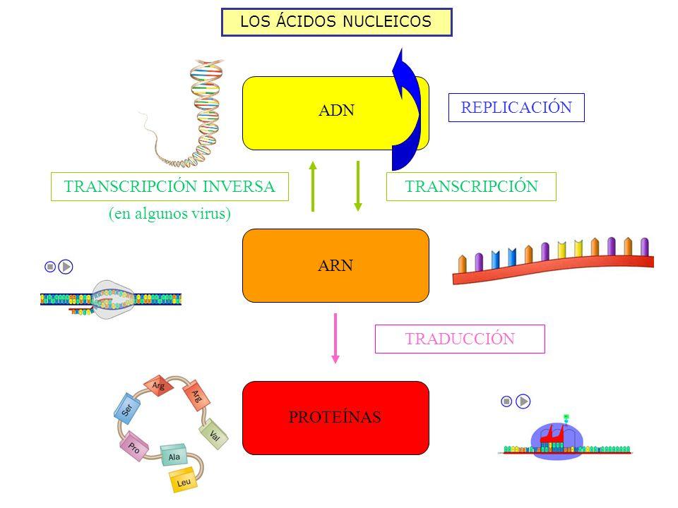 LOS ÁCIDOS NUCLEICOS ADN ARN PROTEÍNAS REPLICACIÓN TRANSCRIPCIÓN TRANSCRIPCIÓN INVERSA (en algunos virus) TRADUCCIÓN