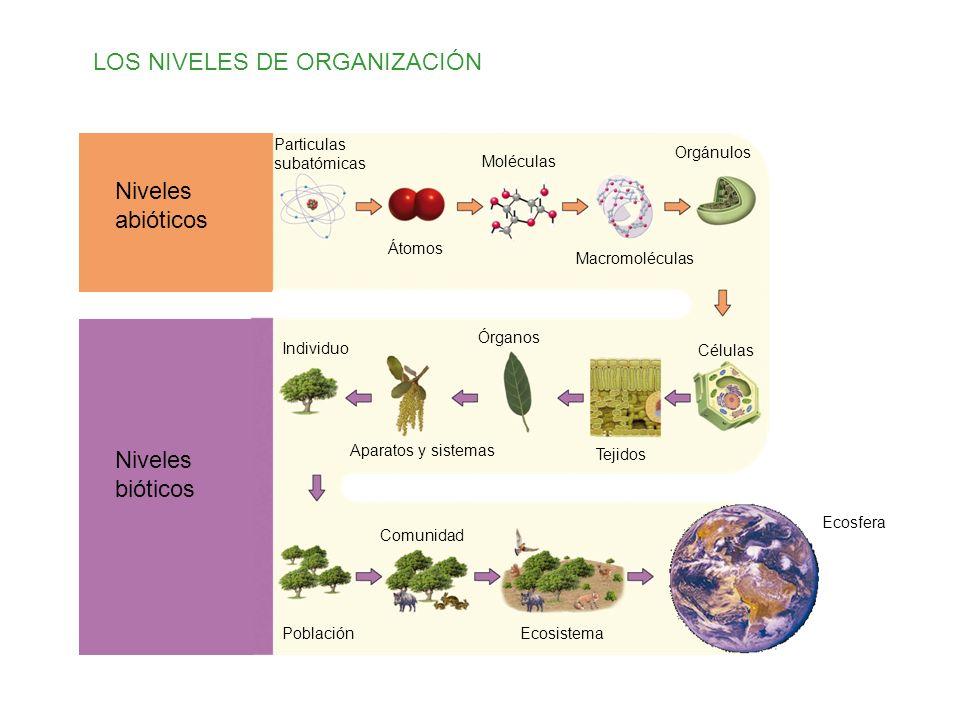 LOS NIVELES DE ORGANIZACIÓN Niveles abióticos Niveles bióticos Particulas subatómicas Átomos Moléculas Macromoléculas Orgánulos Células Tejidos Órganos Aparatos y sistemas Individuo Población Comunidad Ecosistema Ecosfera