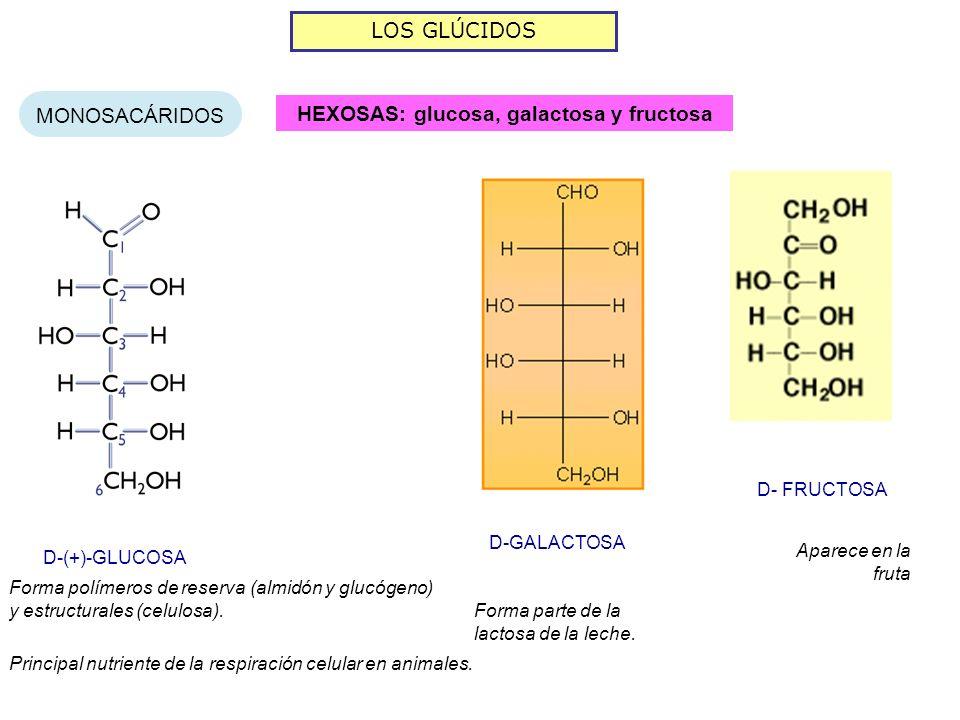 LOS GLÚCIDOS MONOSACÁRIDOS HEXOSAS: glucosa, galactosa y fructosa Forma parte de la lactosa de la leche.